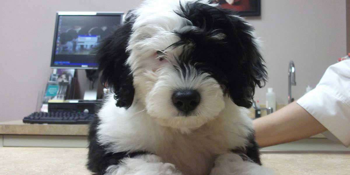 Fluffy Black and White Dog